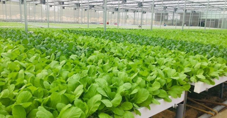 Mô hình trồng rau sạch đem lại lợi nhuận cao