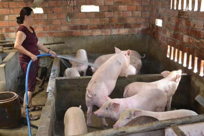 Mô hình chăn nuôi heo rất phổ biến tại nông thôn