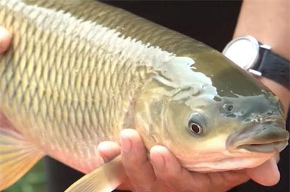Nằm mơ thấy cá trắm