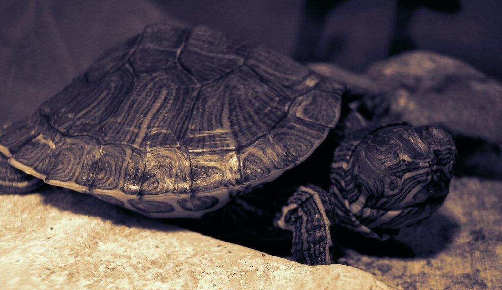 Giải mã giấc mơ rùa đen