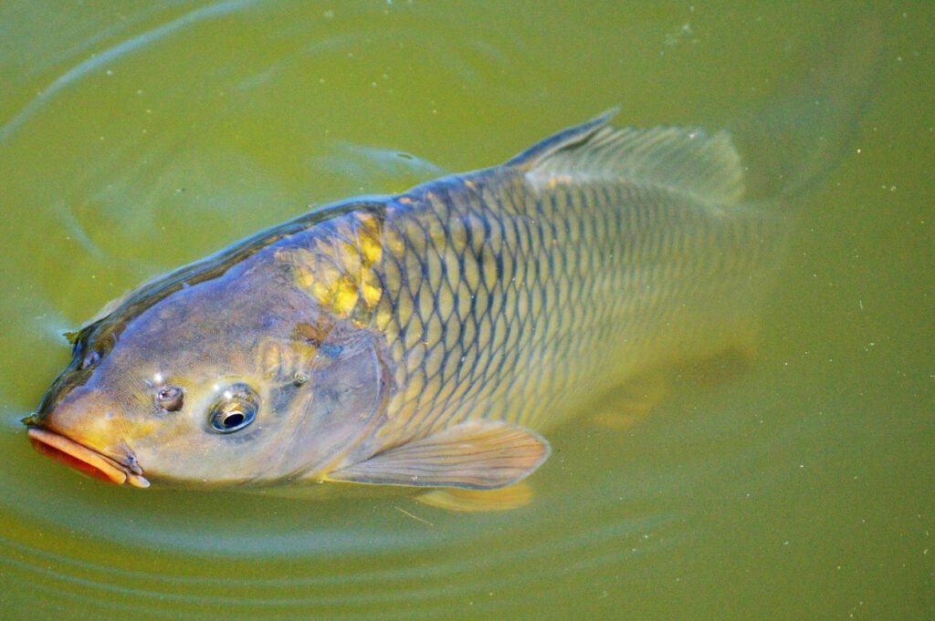 Hình ảnh con cá chép