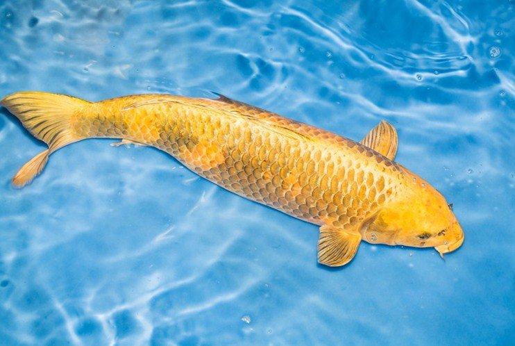 Giải mã ý nghĩa giấc mơ thấy cá chép vàng
