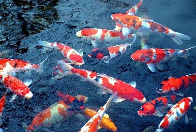 Mơ thấy cá chép thì nên đánh số mấy?