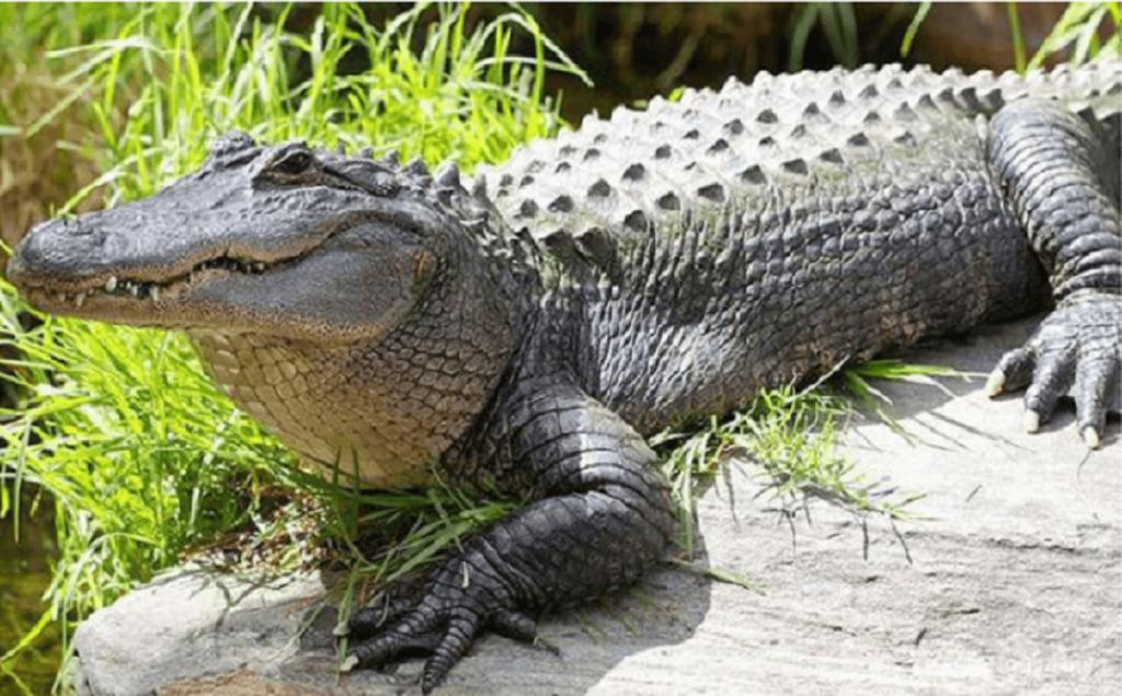 Nằm mơ thấy cá sấu mang điềm báo gì?