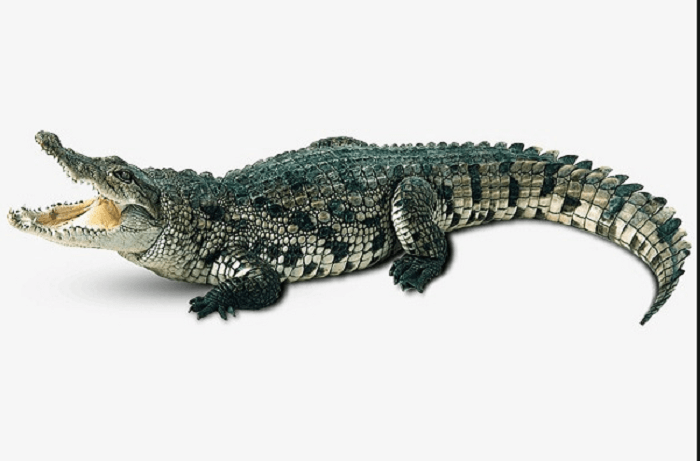 Giải mã giấc mơ nằm mơ bị cá sấu tấn công