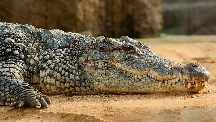 Ý nghĩa giấc mơ nằm mơ thấy cá sấu chết