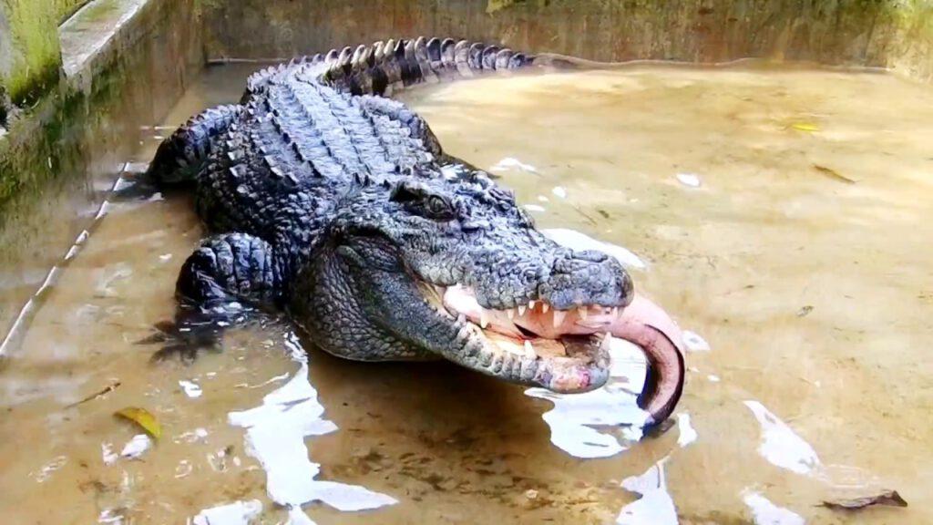 Mơ thấy cá sấu ăn thịt báo điềm gì?