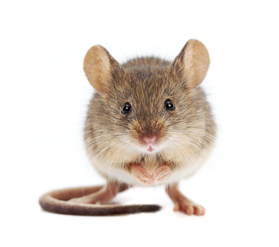 Mơ thấy chuột là giấc mơ khá phổ biến của nhiều người