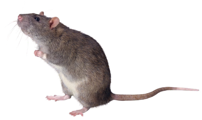 Mơ thấy chuột cống dự báo công việc và sự nghiệp sắp tới của bạn sẽ hết sức thuận lợi