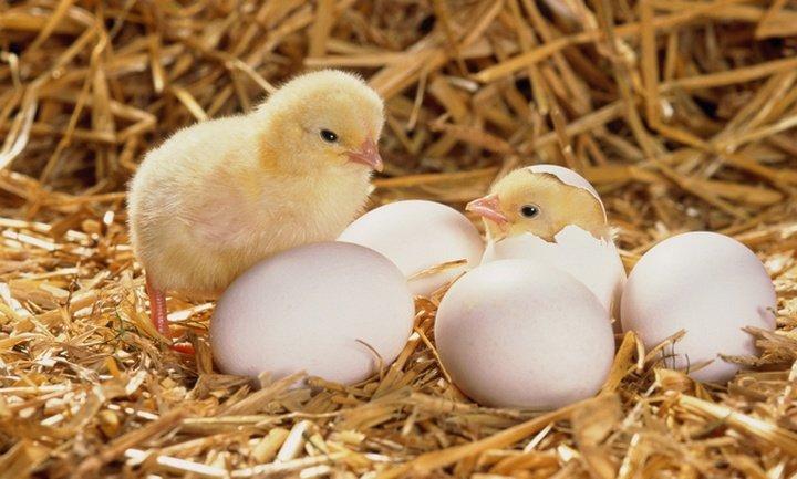 Giải mã giấc mơ thấy gà con mới nở