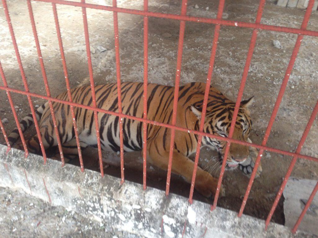 Nằm mơ thấy mình đang nuôi hổ