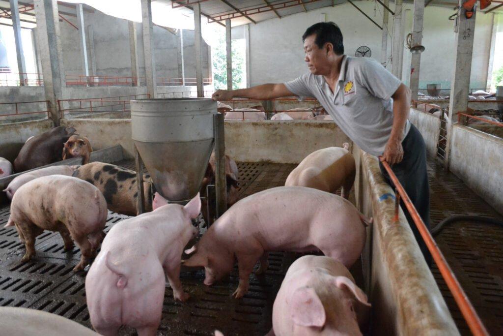 Mở trang trại chăn nuôi heo là những cách làm giàu ở nông thôn