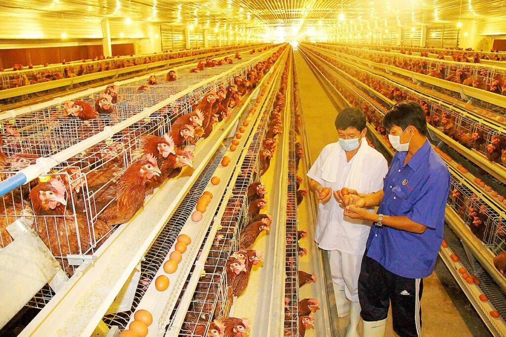 Chăn nuôi gia cầm có lãi bền vững là những cách làm giàu ở nông thôn