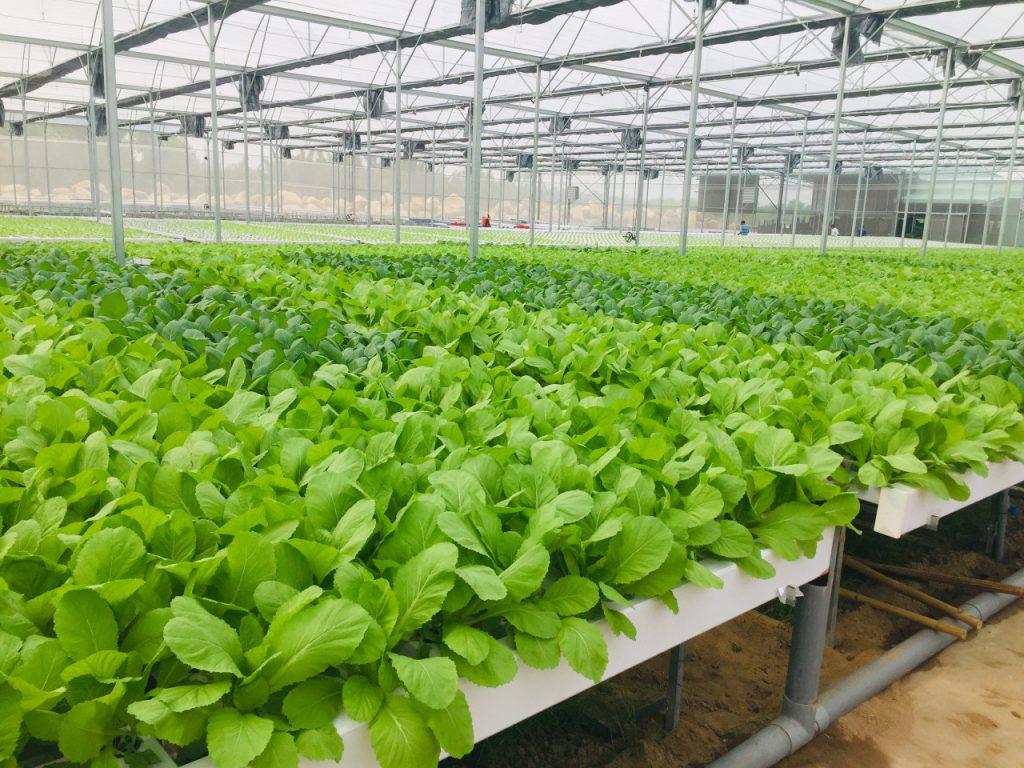 Mô hình trồng rau sạch là những cách làm giàu ở nông thôn