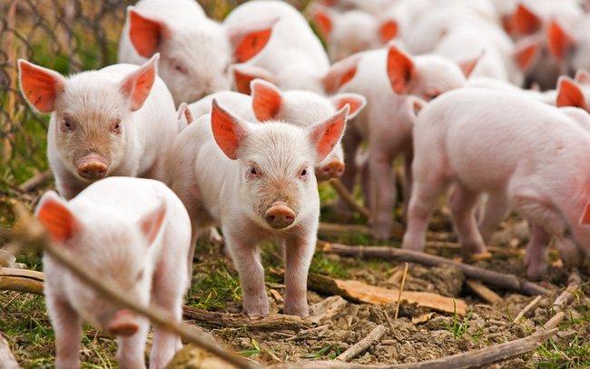 Cổ phiếu doanh nghiệp chăn nuôi tăng 790% từ tháng 4