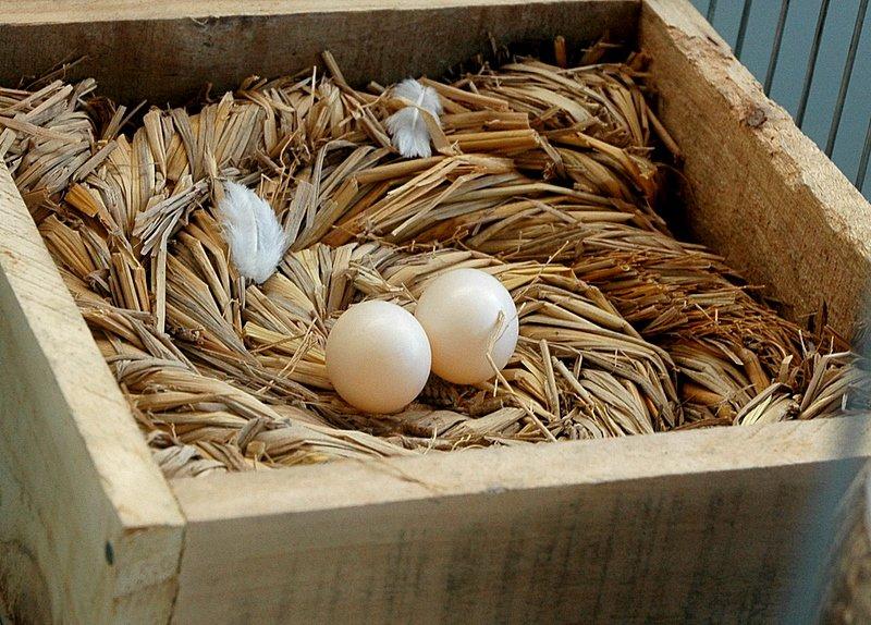 Nằm mơ thấy trứng chim bồ câu