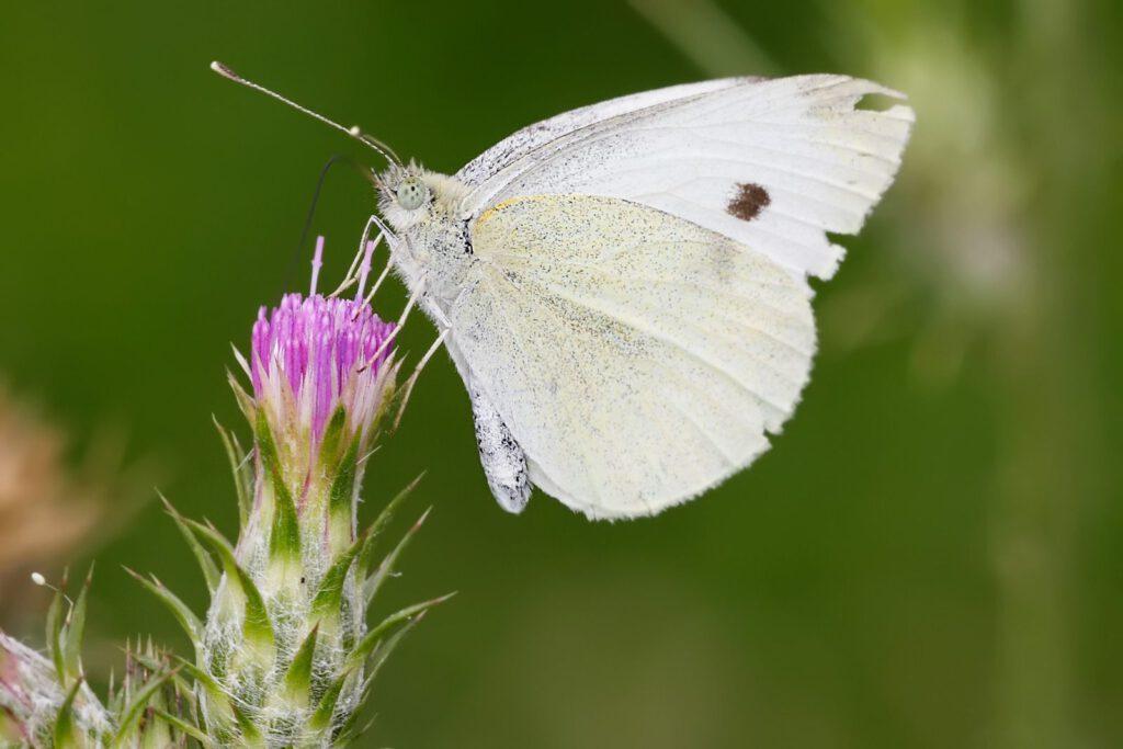 Mơ thấy bướm trắng