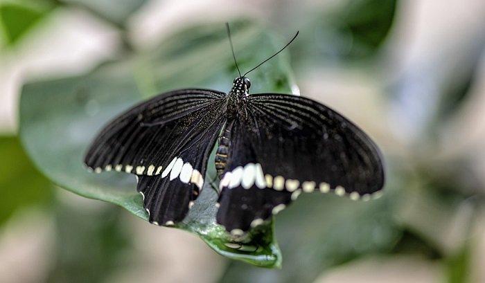Mơ thấy bướm đen