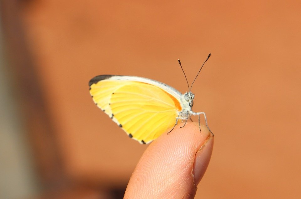 Ngủ mơ thấy bướm vàng