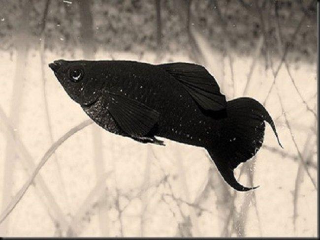 Mơ thấy cá đen báo điềm lành hay d