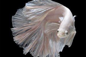 Nằm mơ thấy cá trắng