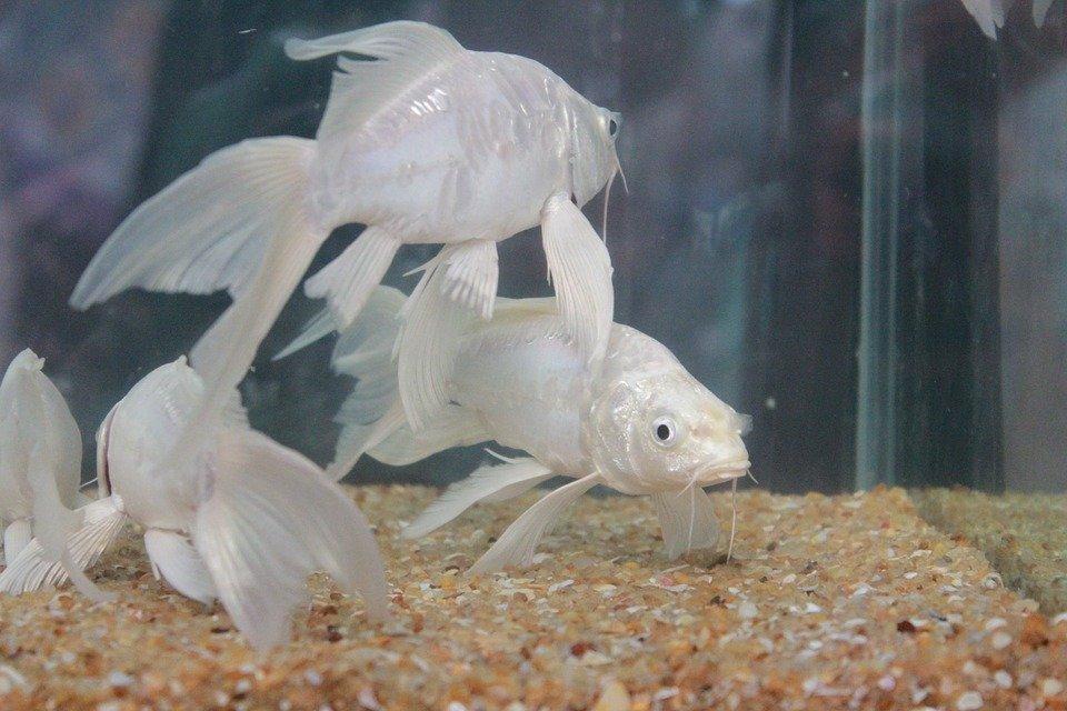 Nằm mơ thấy cá trắng  chết