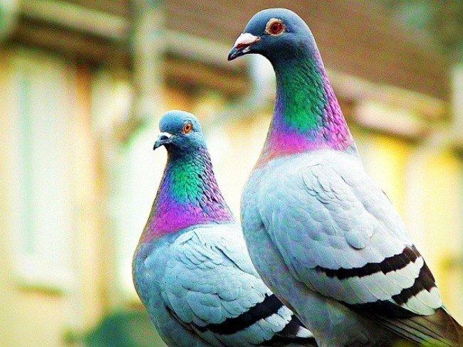 Mơ thấy chim bồ câu thường là điềm báo may mắn