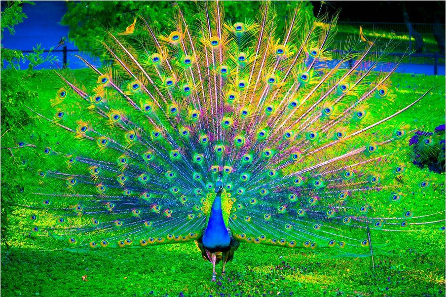 Giải mã ý nghĩa giấc mơ thấy chim công