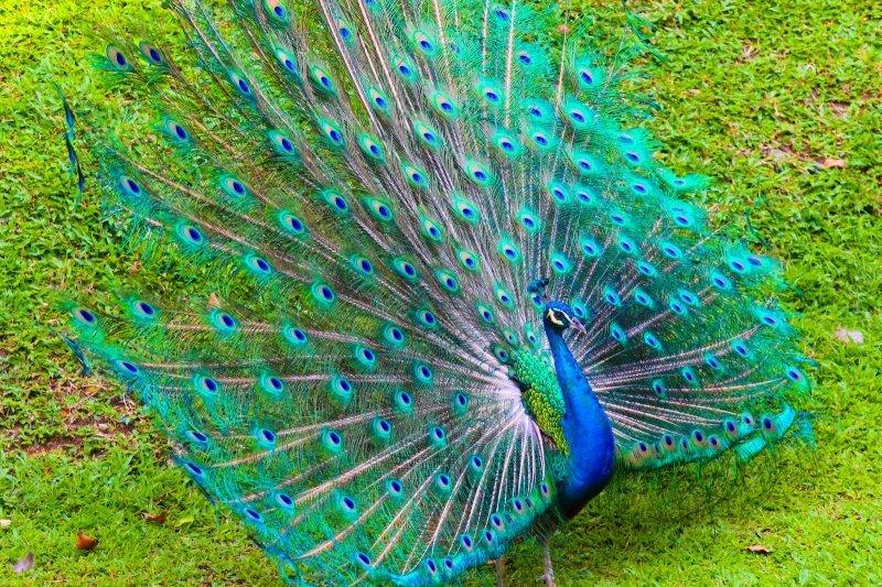 Mơ thấy chim công có ý nghĩa gì?