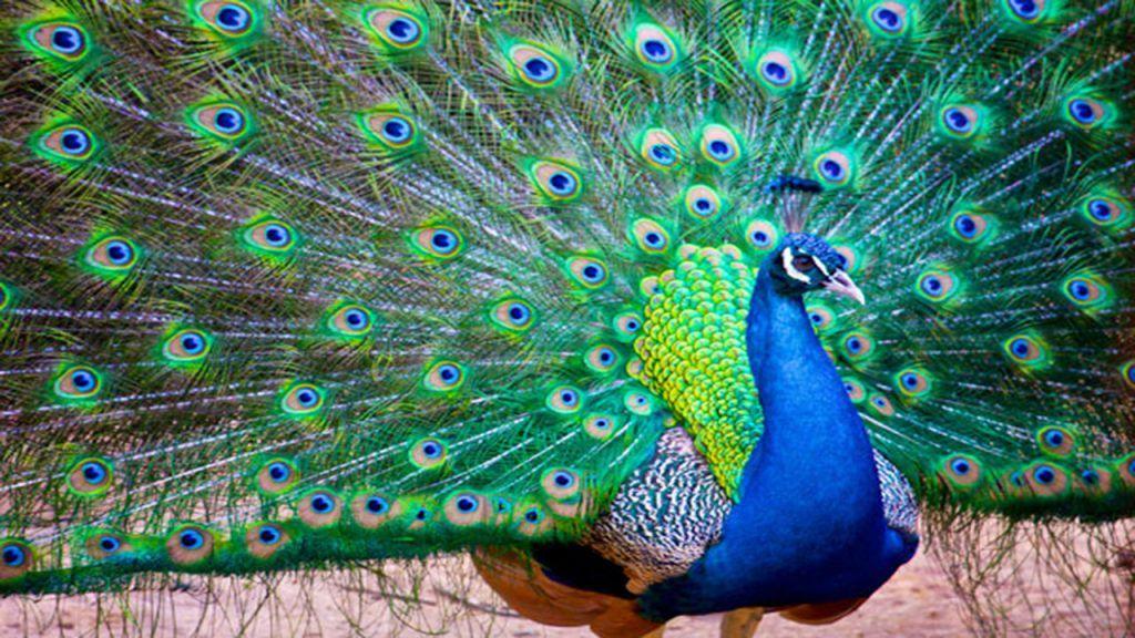 Ngủ mơ thấy chim công xòe cánh