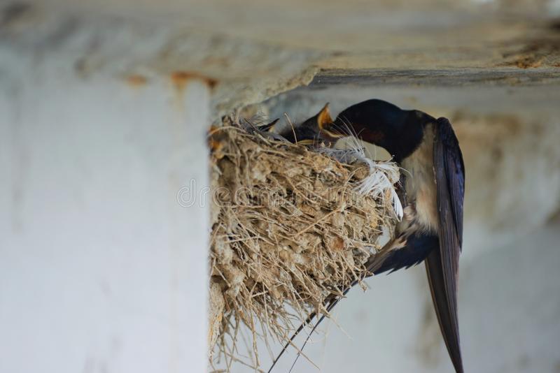 Ngủ mơ thấy chim én bay vào nhà