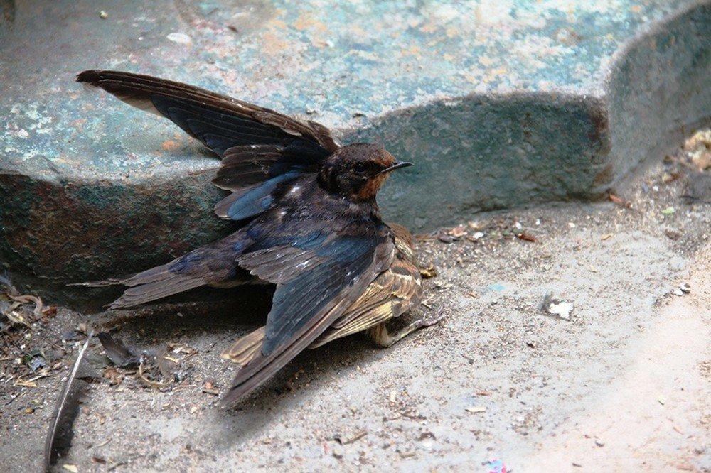 Nằm mơ thấy chim én bị gãy cánh là điềm dữ