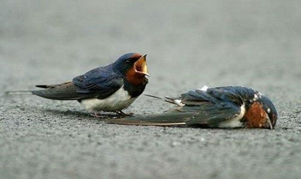 Nằm mơ thấy chim én chết