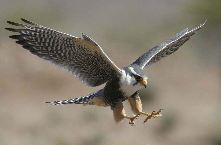 Giấc mơ thấy chim ó bay lên trời mang ý nghĩa gì?