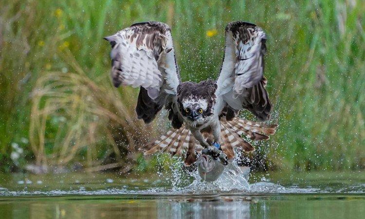 Nằm mơ thấy chim ó săn mồi lành hay dữ?