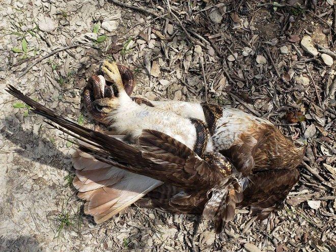 Giải mã giấc mơ thấy chim ó chết