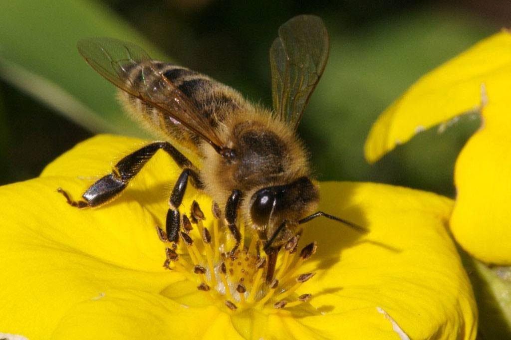 Mơ thấy ong vàng