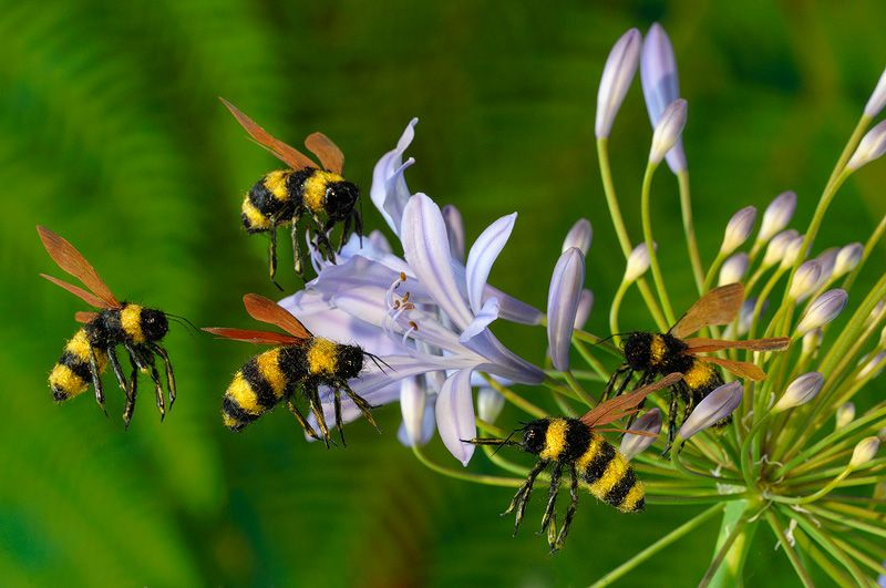 Chiêm bao thấy đàn ong bay