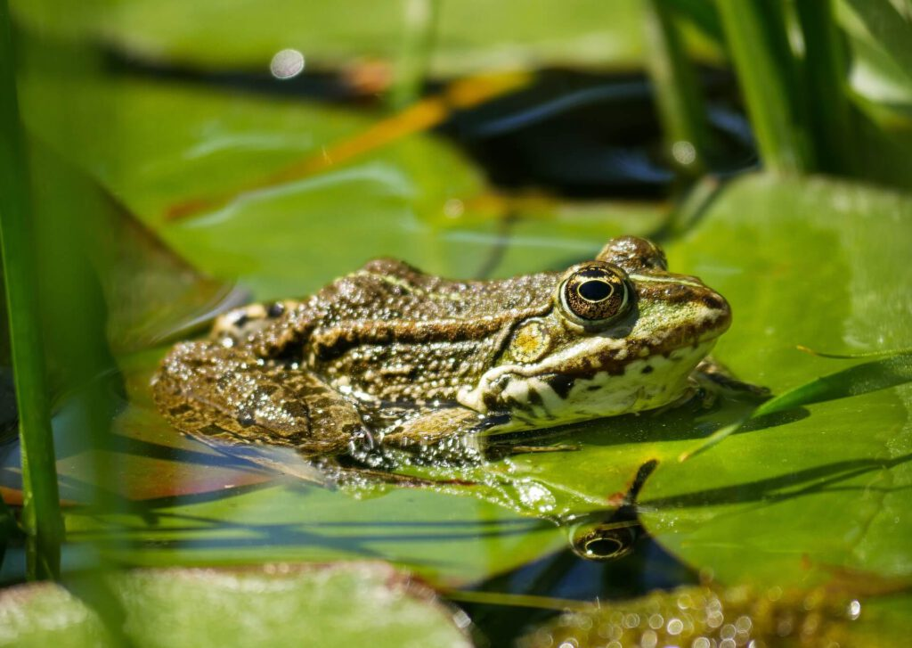 Mơ thấy ếch thì nên đánh số mấy để có cơ hội trúng cao?