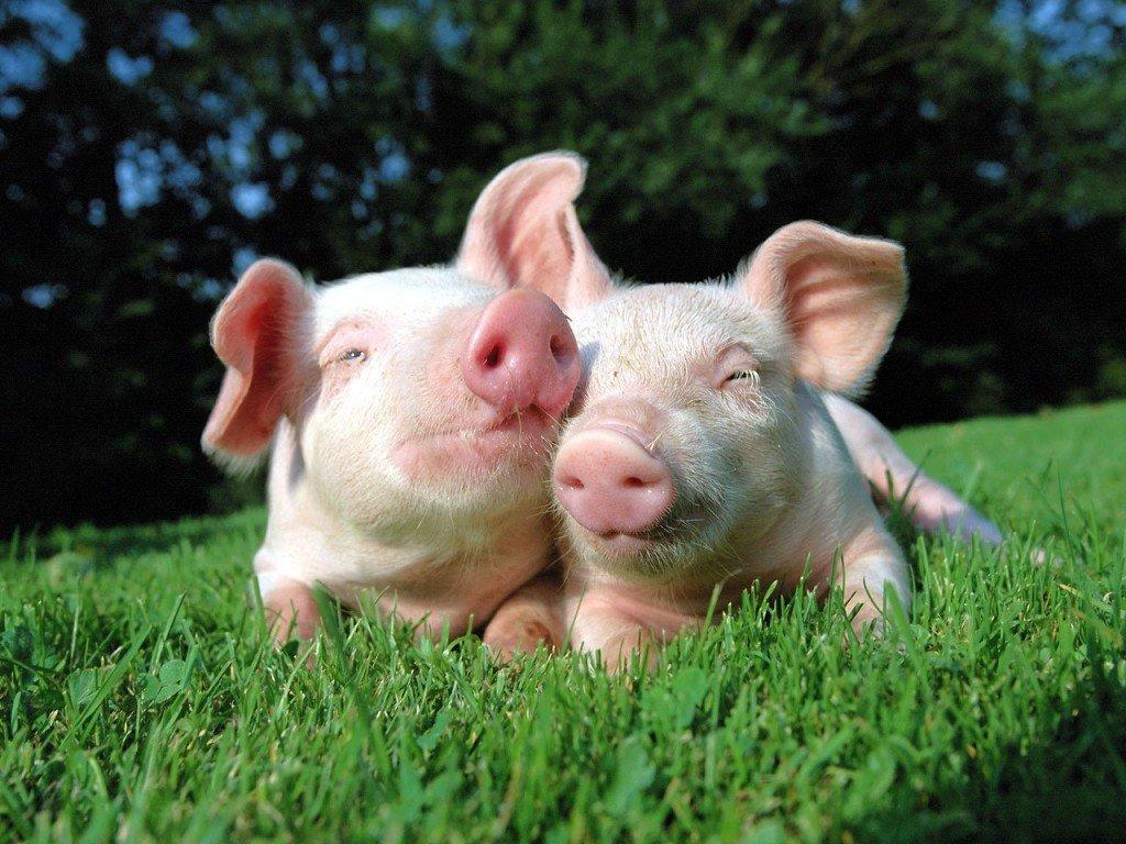 Mơ thấy lợn trắng nói lên điều gì?