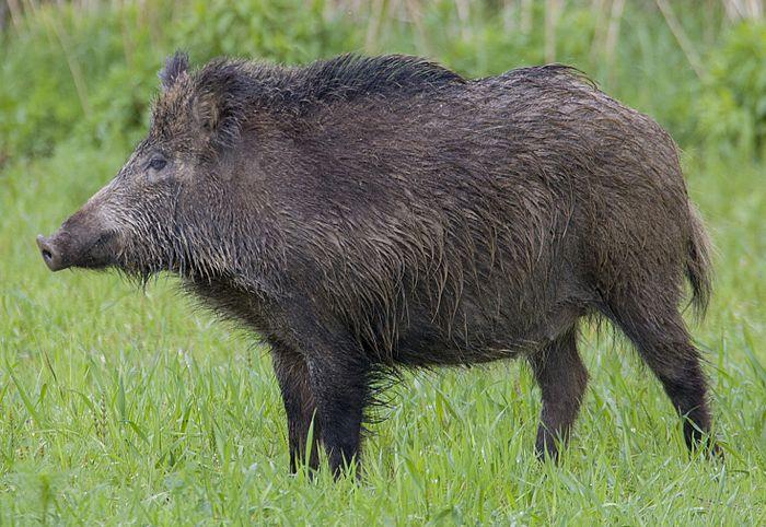 Điềm báo khi nằm mơ thấy lợn rừng đuổi