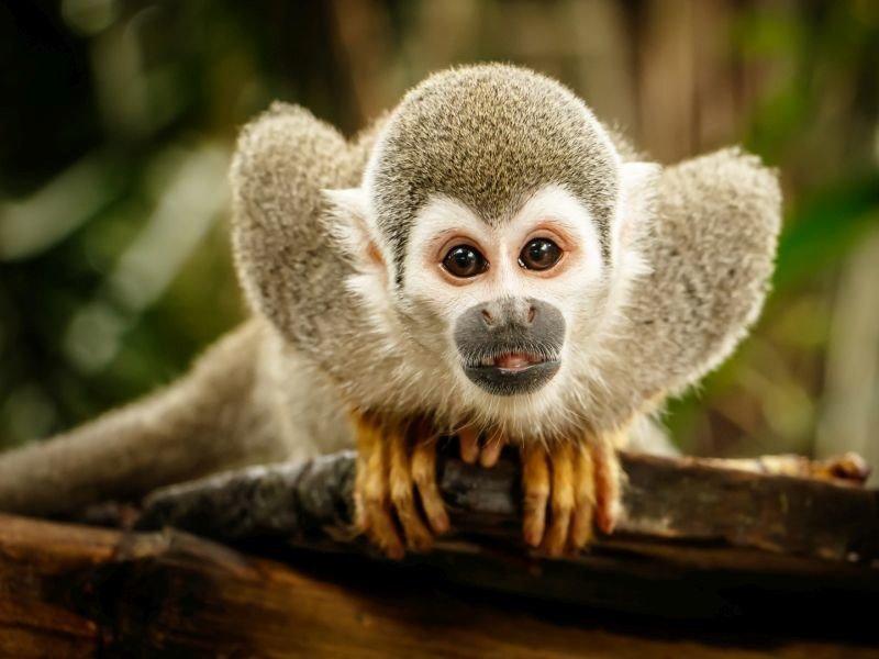 Mơ thấy khỉ báo điềm gì?