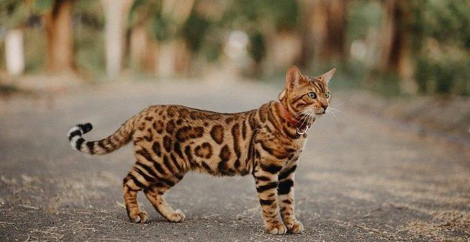 Mơ thấy mèo rừng là giấc mơ mang nhiều bí ẩn, lành hay dữ tùy trường hợp cụ thể