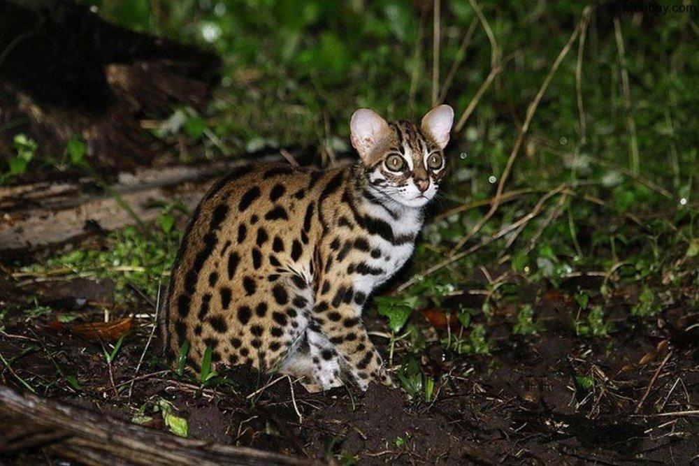 Ngủ mơ thấy mèo rừng tấn công mình là dấu hiệu cho thấy bạn đang lo sợ
