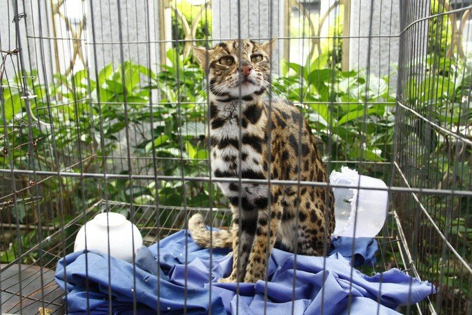 Mơ thấy mèo rừng bị mình bắt lại là giấc mơ dự báo bạn sẽ gặp nhiều may mắn