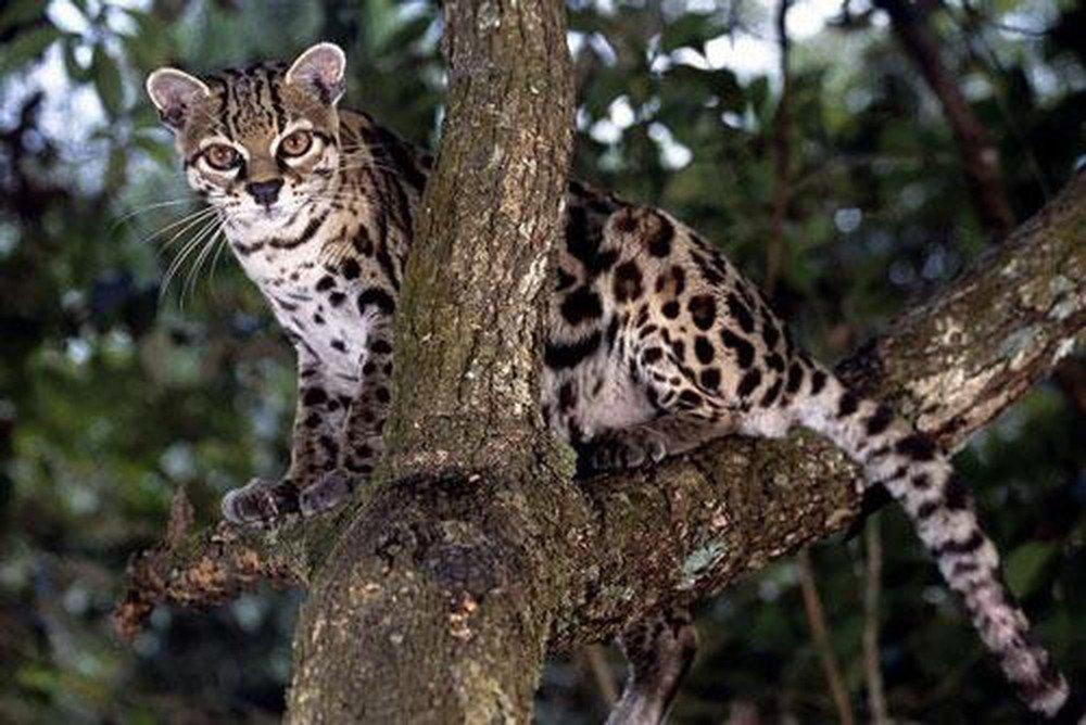 Việc bạn mơ thấy mèo rừng cắn mình lại không hề tốt một chút nào