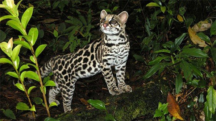 Chiêm bao thấy mèo rừng ẩn chứa những con số có thể mang lại tài lộc cho bạn
