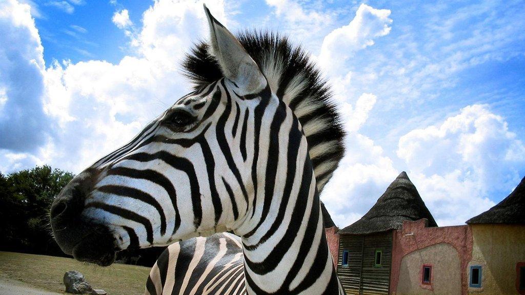Mơ thấy ngựa vằn