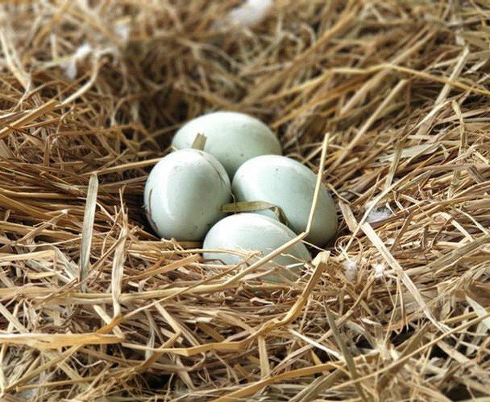 Mơ thấy vịt đẻ trứng