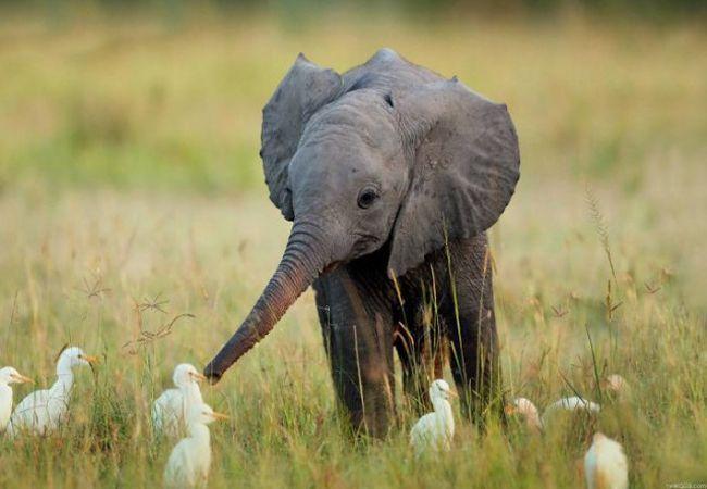 Nằm mơ thấy voi con